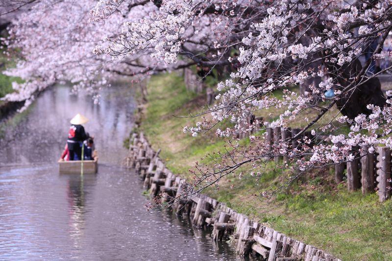 新河岸川の桜開花状況