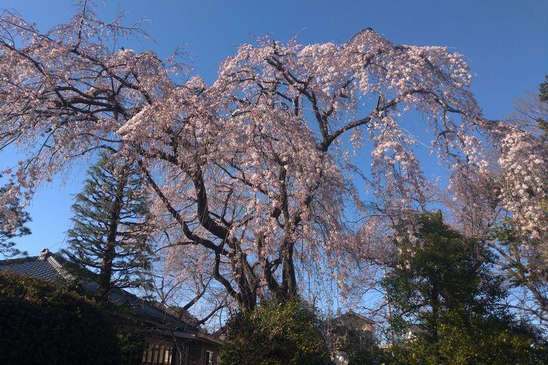 川越・中院の枝垂れ桜