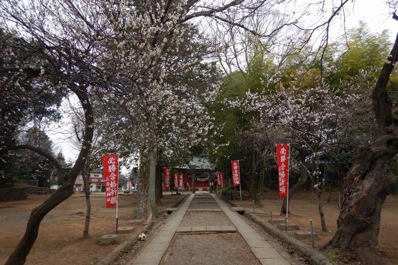 川越│三芳野神社の桜開花状況